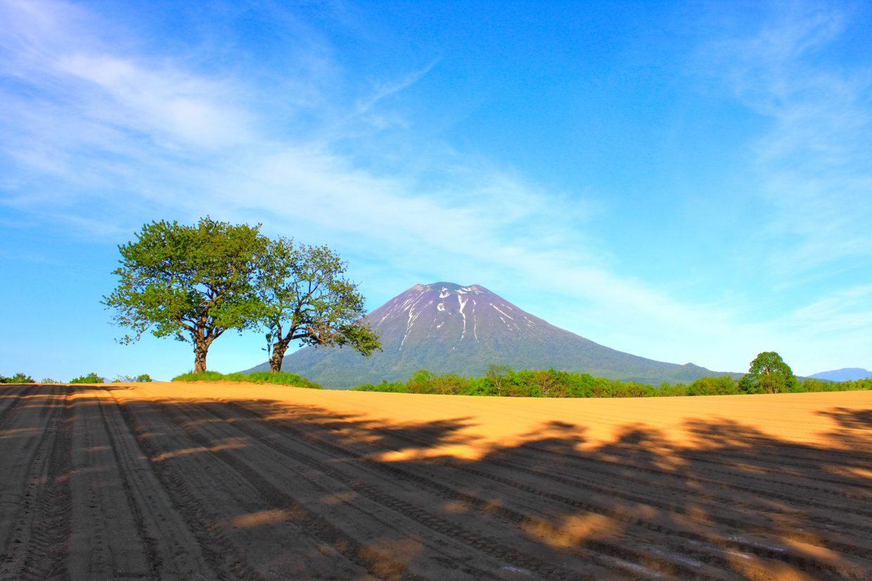 羊蹄山と双子のさくらんぼの木